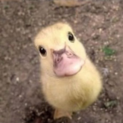 pleading-duckling
