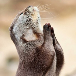 pleading-otter