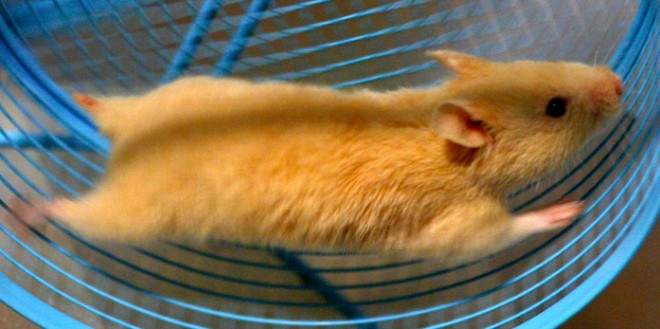 hamster-on-wheel